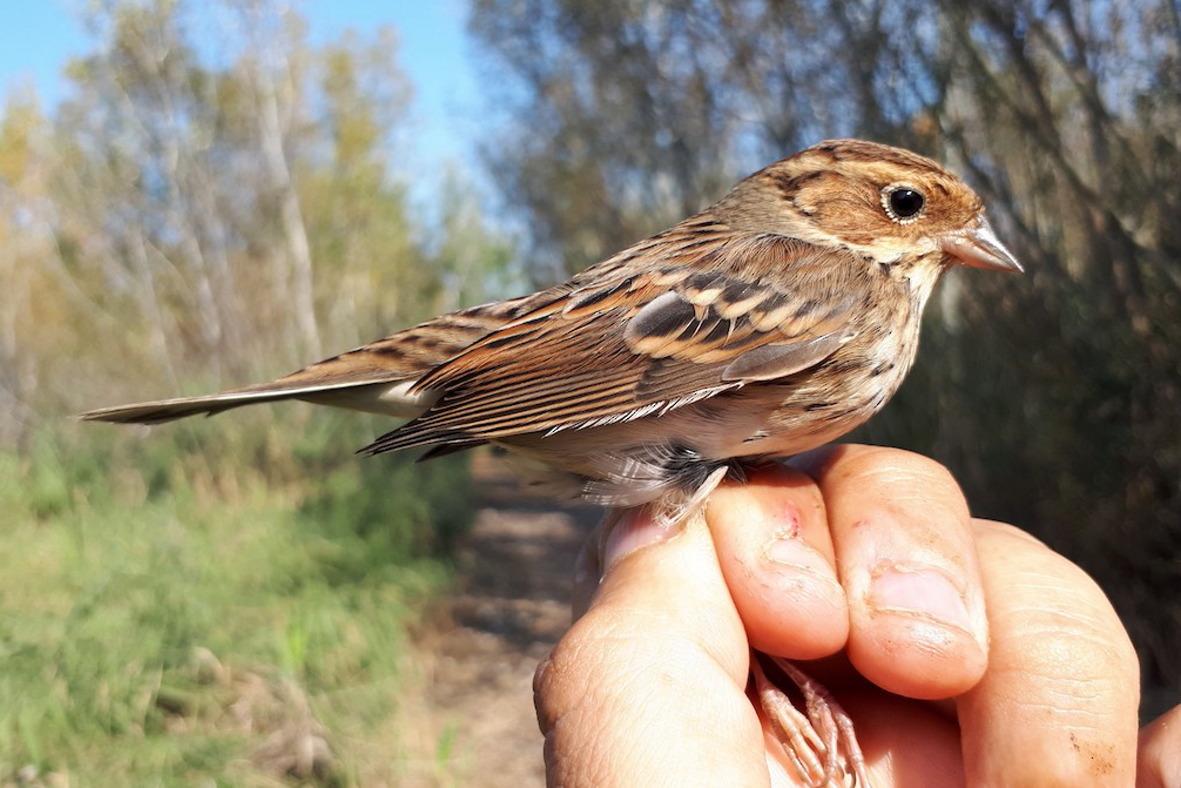 Facebook sobre els ocells anellats a l'estany d'Ivars i Vila-sana