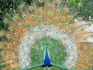 Indian peacock dancing