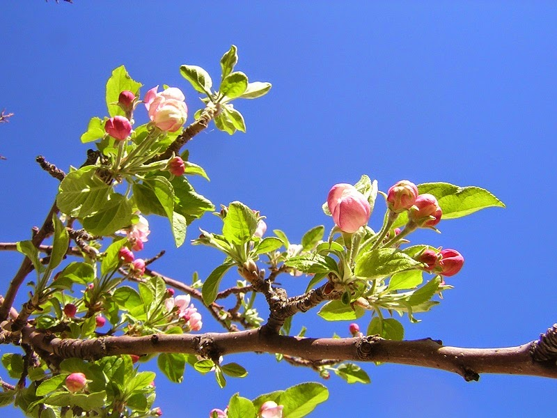 Apple tree blossoming in Anne's front yard. Alamogordo, New Mexico