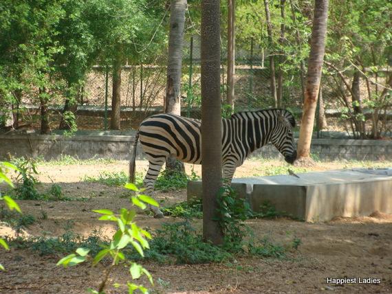 zebra mysore zoo