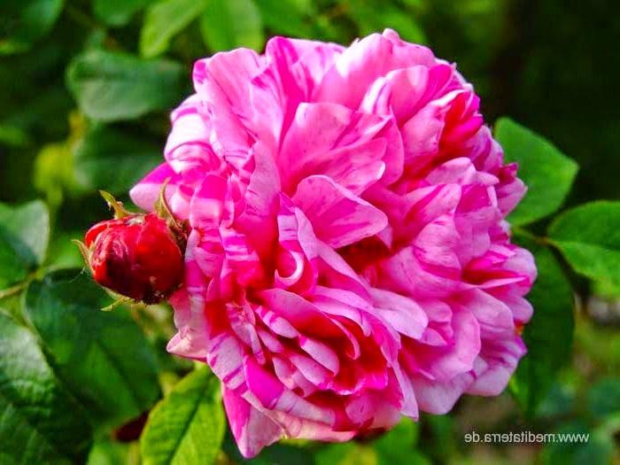 kostenlose rosenfotos kostenlose rosenfotos rosengalerien bersicht nach rosenfarben. Black Bedroom Furniture Sets. Home Design Ideas