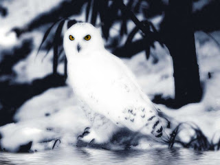 Snow Owl Wallpapers