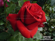 Roses Pictures