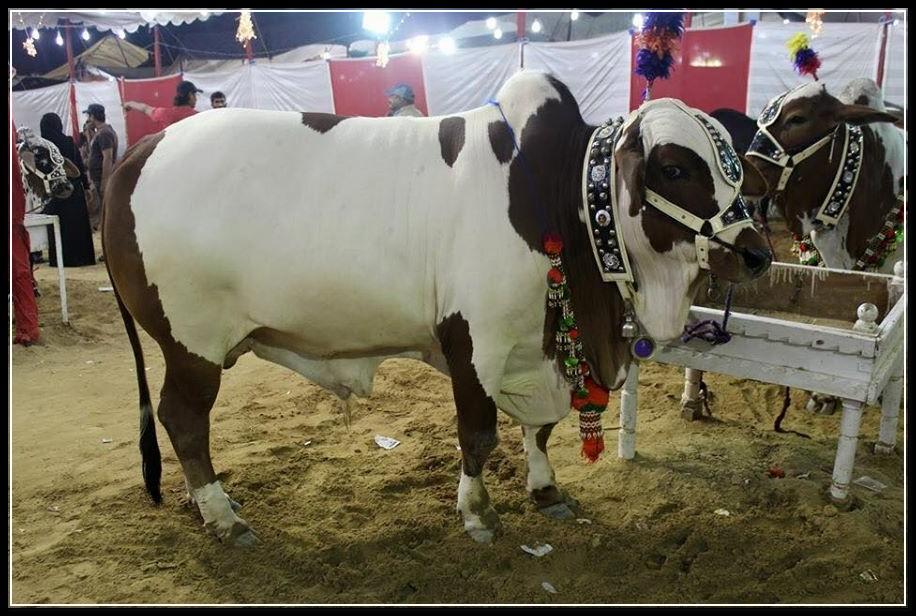 Cow Malir Mandi 2014 Karachi Karachi Cow Mandi 2014