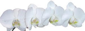 Orquidea Phalaenopsis Branca   Rebeca Flores Alphaville