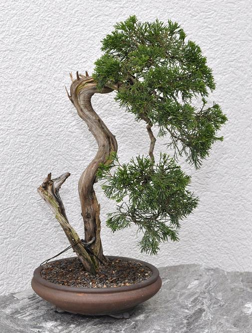 bonsai und beistellpflanzen sabinas berarbeitet. Black Bedroom Furniture Sets. Home Design Ideas