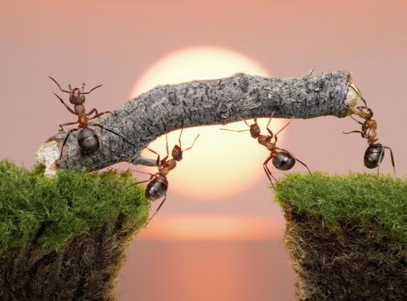 Cara Semut Memanggil Teman temannya