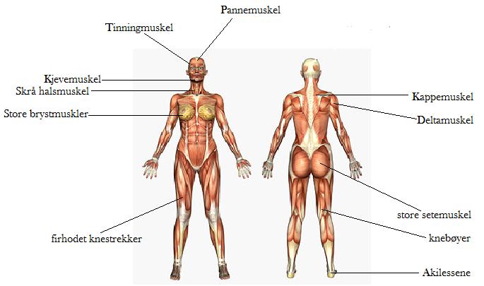 bildedeling navn på muskler i kroppen