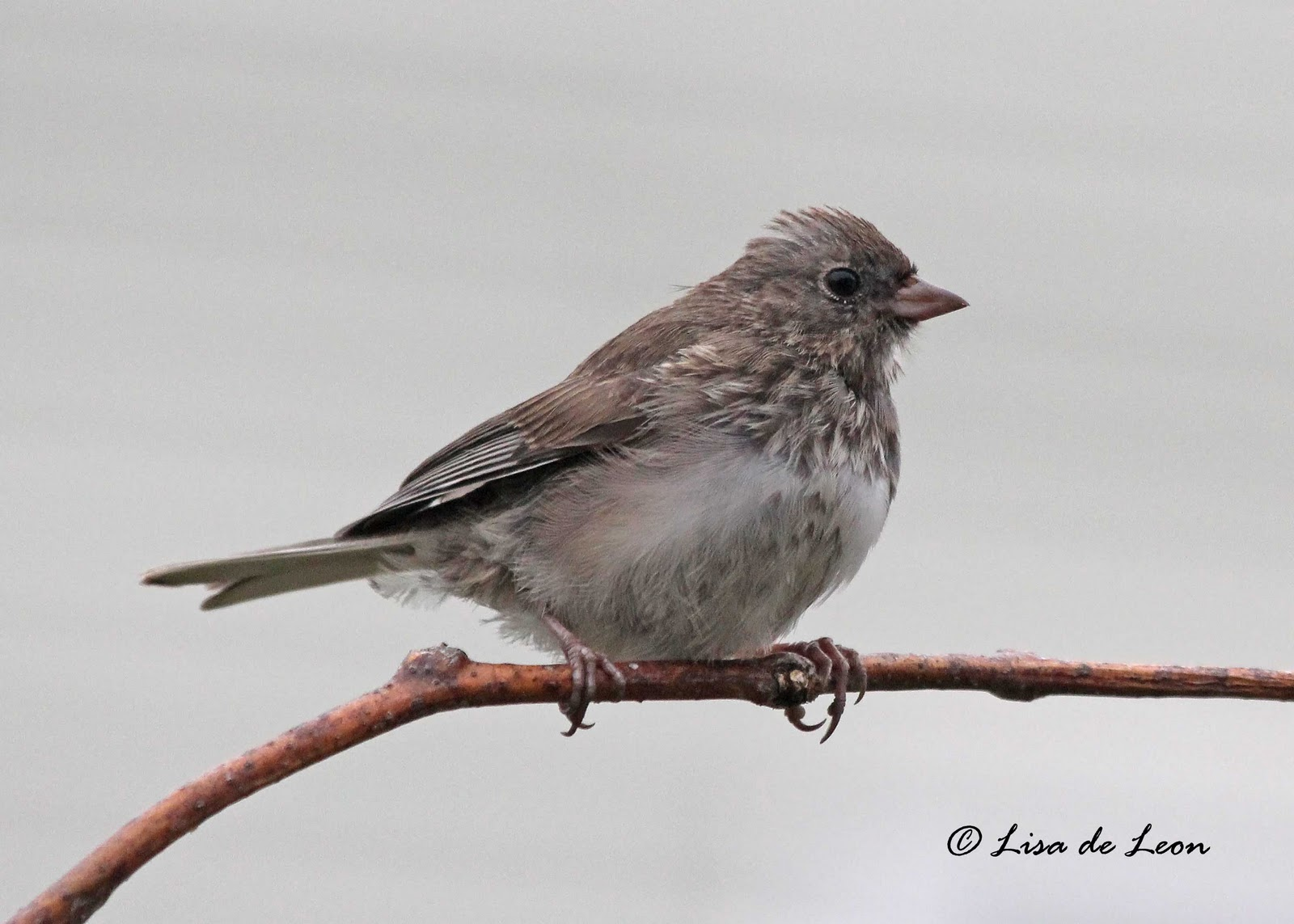 Birding with Lisa de Leon: Dark-eyed Junco - Juvenile