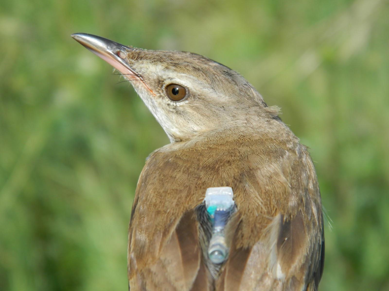 Bird Data Logger : Craig birding the ringing season part