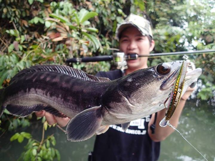 Ima singapore our catches on ima gyodo survivor 70 for Om fishing sinkers