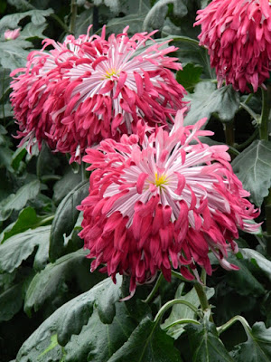 Purple reflex mum Allan Gardens Conservatory 2015 Chrysanthemum Show by garden muses-not another Toronto gardening blog