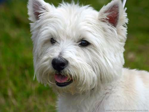 Barnsworld westie or chow chow - Pictures of westie dogs ...
