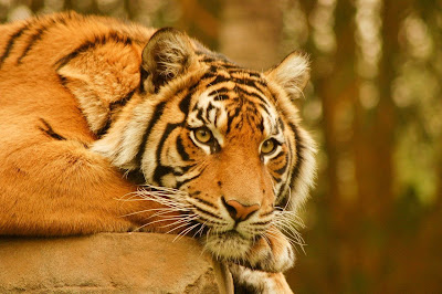 Tiger word windows wallpapers