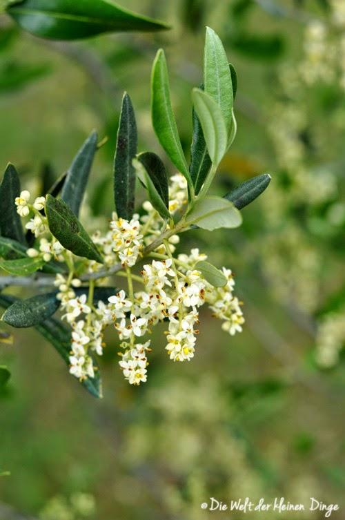 Olivenblüte