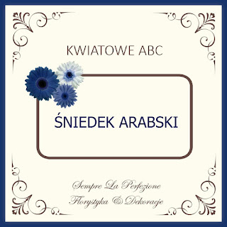 Ornithogalum arabicum śniedek arabski