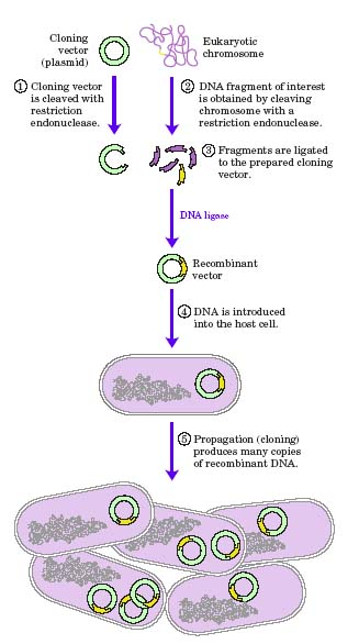 the role of dna in cloning essay Home list of pros and cons 16 important pros and cons of cloning humans forth questions about the role of god in increase in damage to their dna lines.