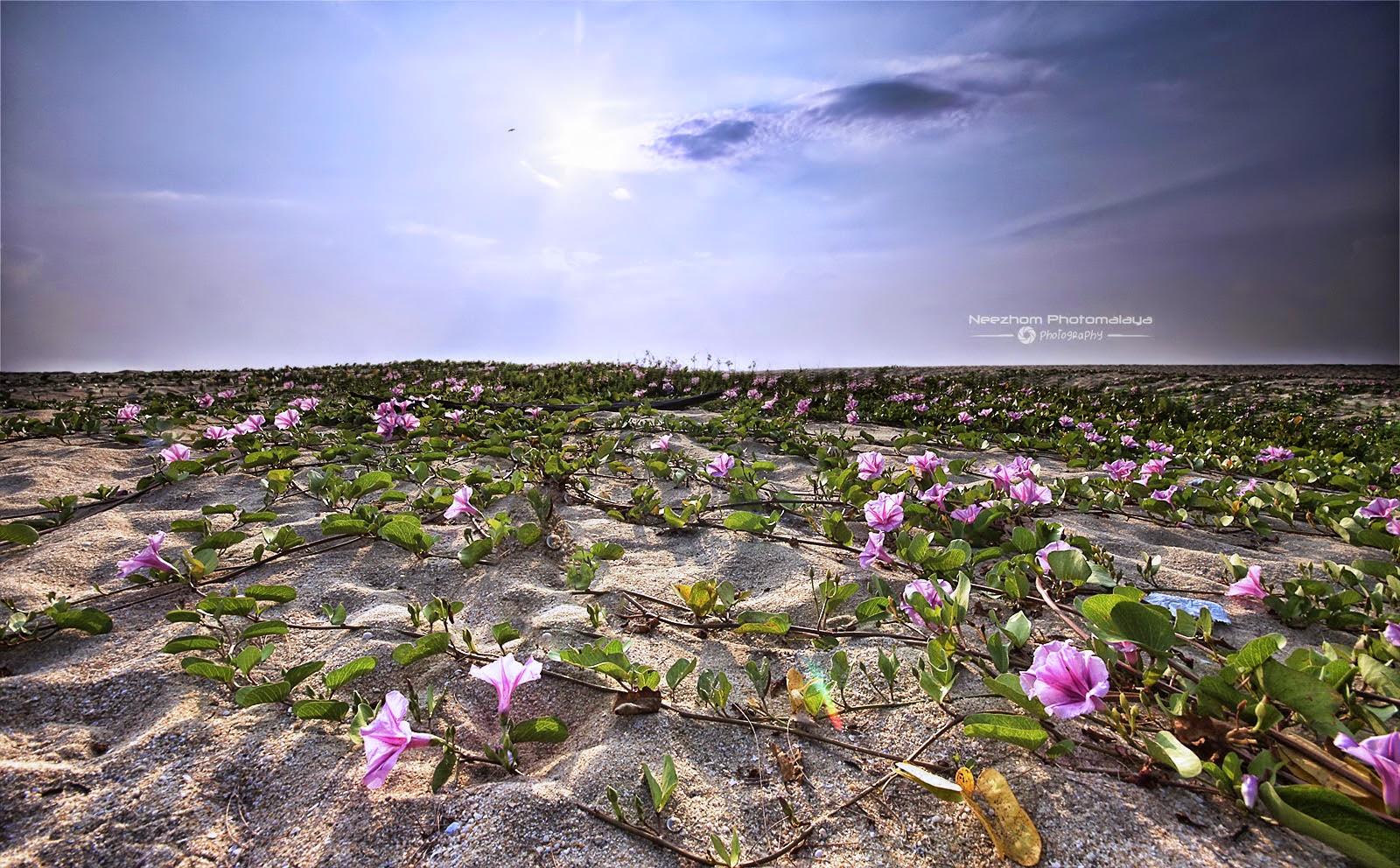 bunga Morning Glory di atas pasir di pantai Batu Buruk