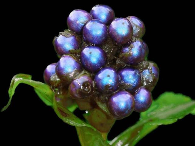 Το πιο έντονο μπλε χρώμα στη φύση το έχει ένα φρούτο!