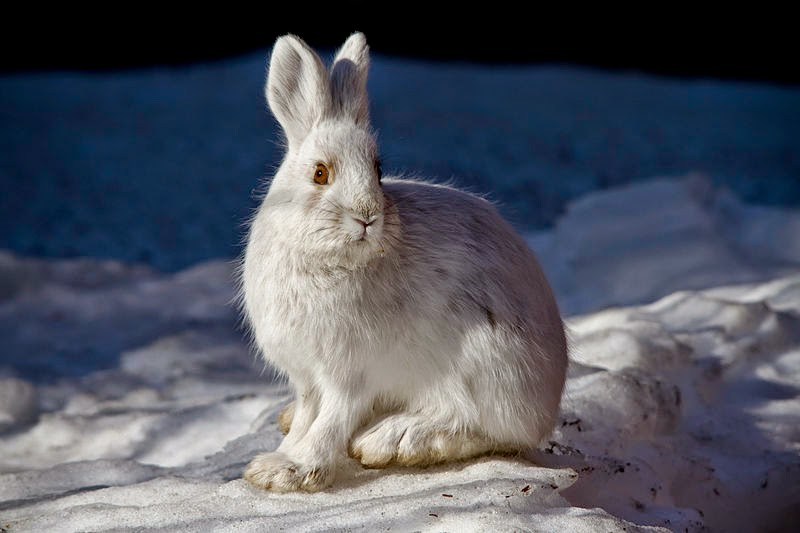 white camouflage snowshoe hare