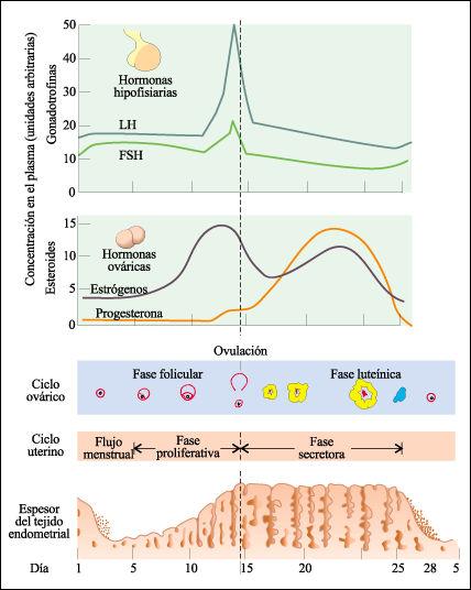 esteroidogenesis suprarrenal