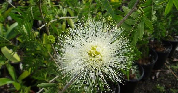 Arbuste le calliandra flore de l le de la r union for Entretien jardin reunion