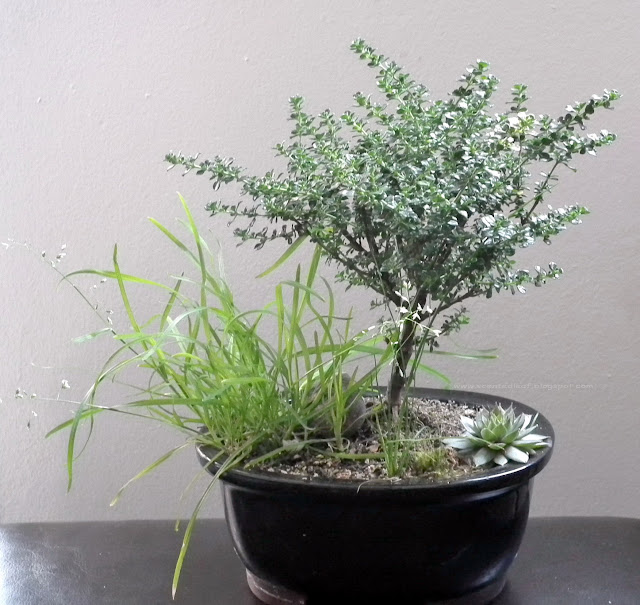 Alpine Mint / Prostanthera Cuneata Bonsai
