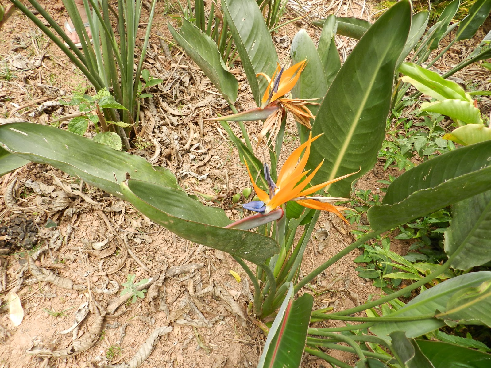 flores tropicais jardim : flores tropicais jardim:ESPÉCIES FLORIDAS