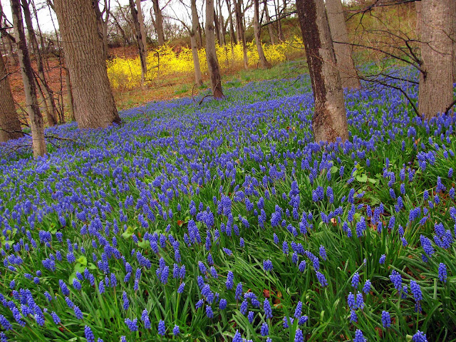 Muscari-field-on-Long-Island