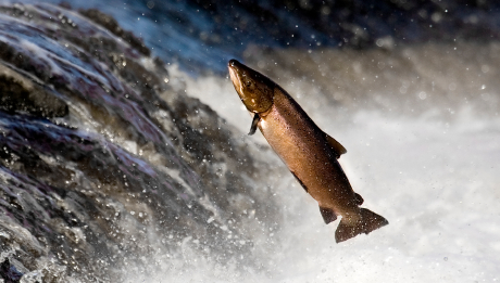 Ikan Salmon Sedang Terbang Melawan Arus Air