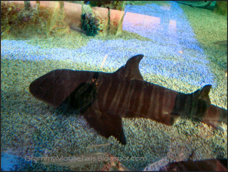 zebra bullhead shark photo image