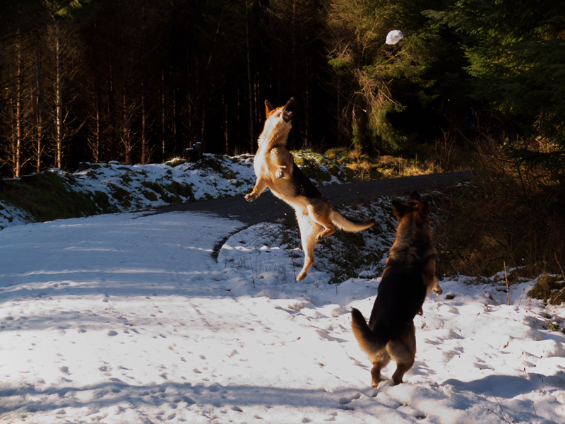 German Shepherd in the air after a flying snowball and another shepherd leaning on his hind legs.