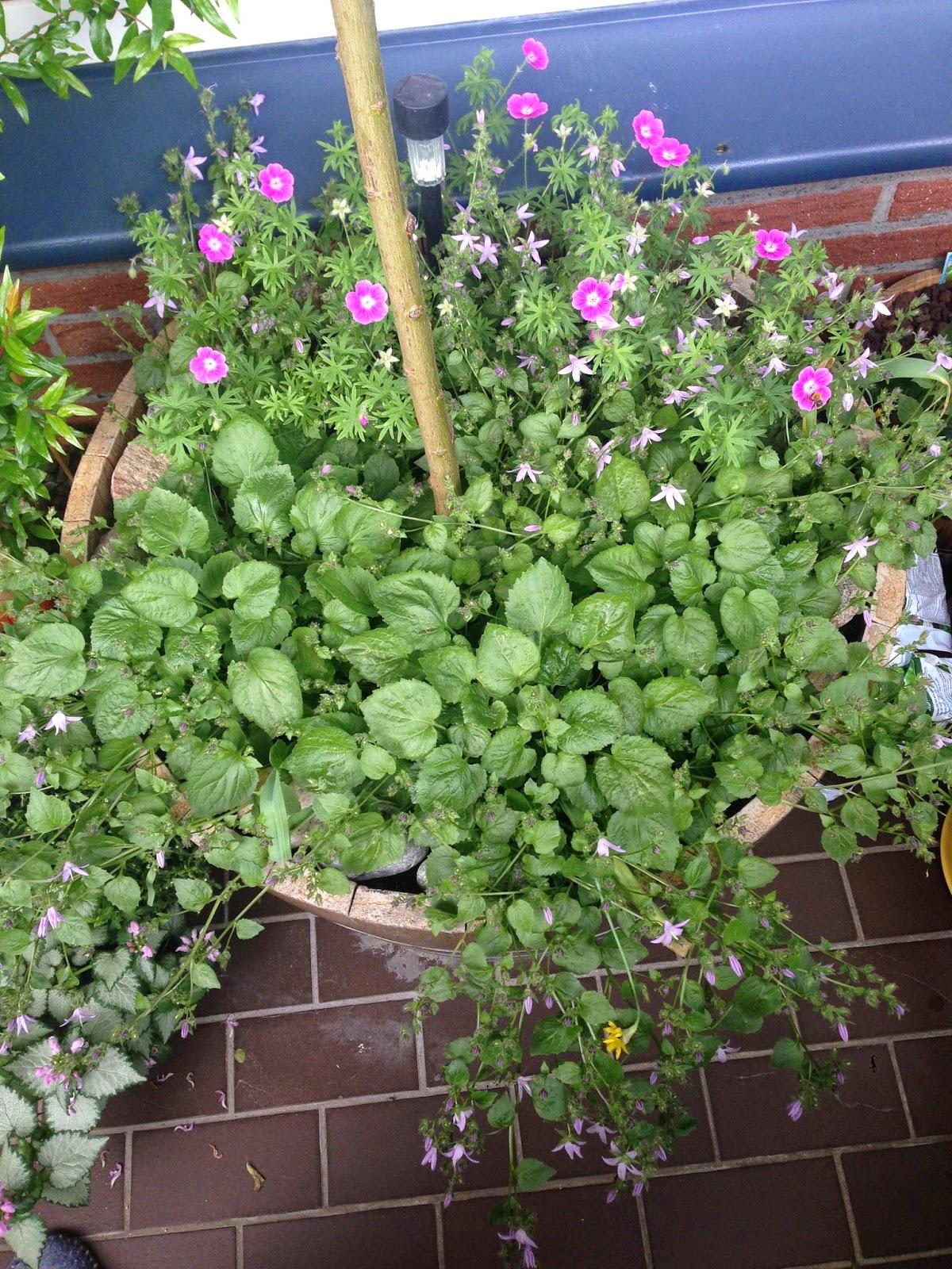 Tessimo 39 s balkongeschichten bodendecker f r k bel - Winterbepflanzung fur balkonkasten und kubel garten ...