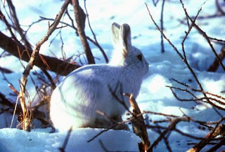 biały zając arktyczny
