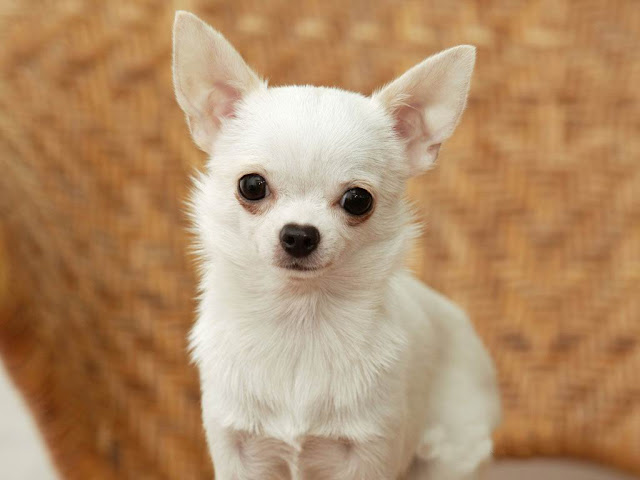 the dog in world  chihuahua dogs