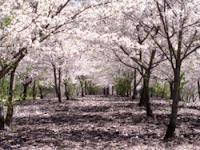 bunga sakura, sakura no shiori jkt48