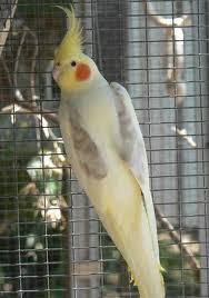 طيور الزينة تصنيفات الكوكتيل والوانه