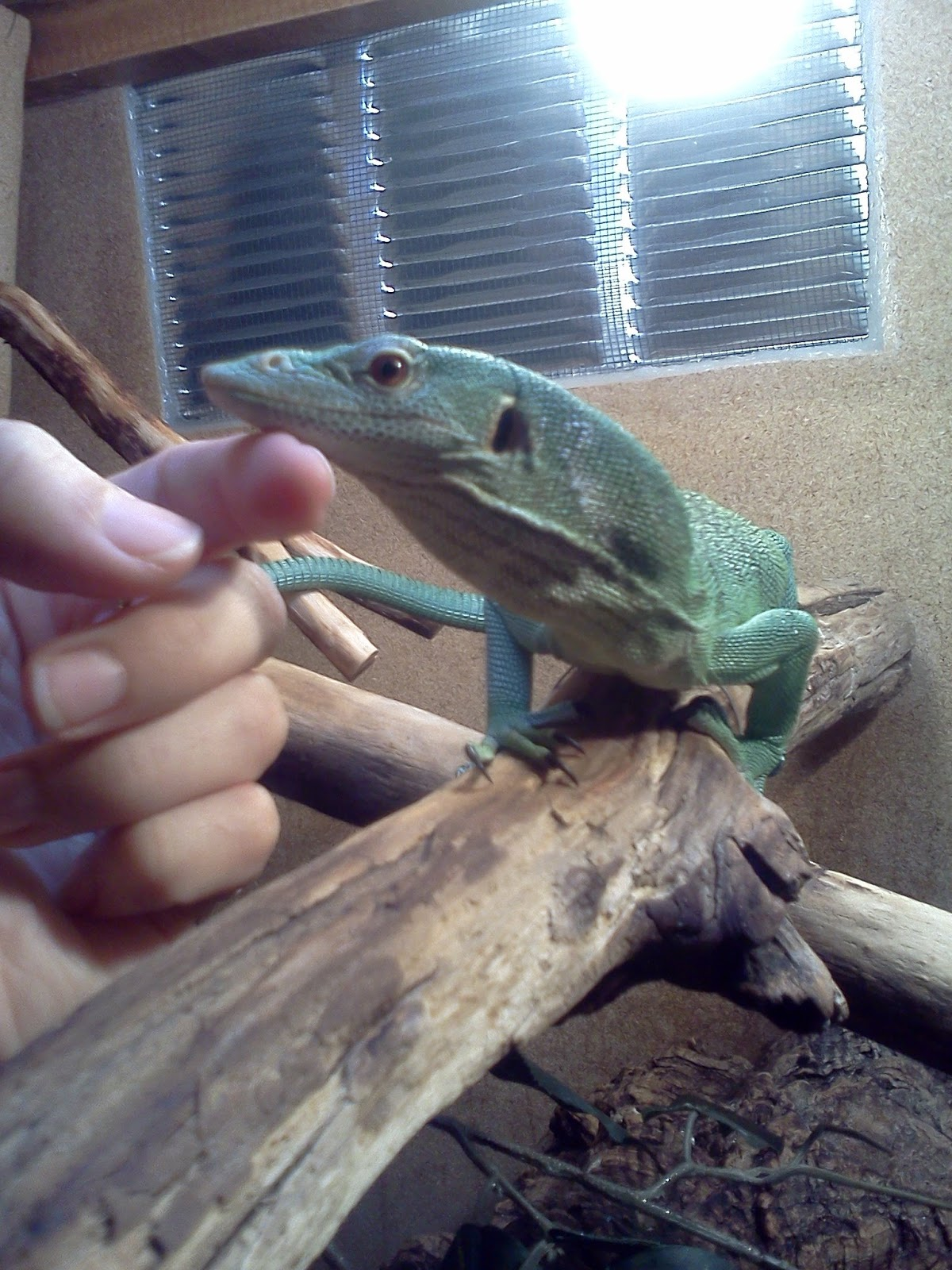 The Reptile Whisperer  Care For The Beautiful Green Tree