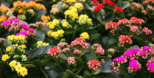 Imágenes de flores y plantas Kalanchoe