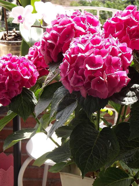 Se abren las hortensias...