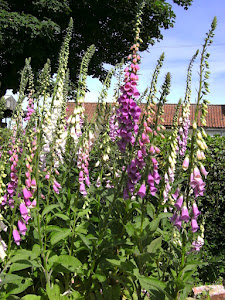 Fabulous Foxgloves