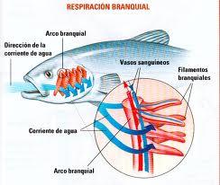 como respiran los animales acuaticos: