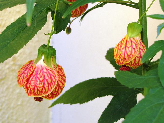 Flor de Lis As Melhores Flores para seu Jardim