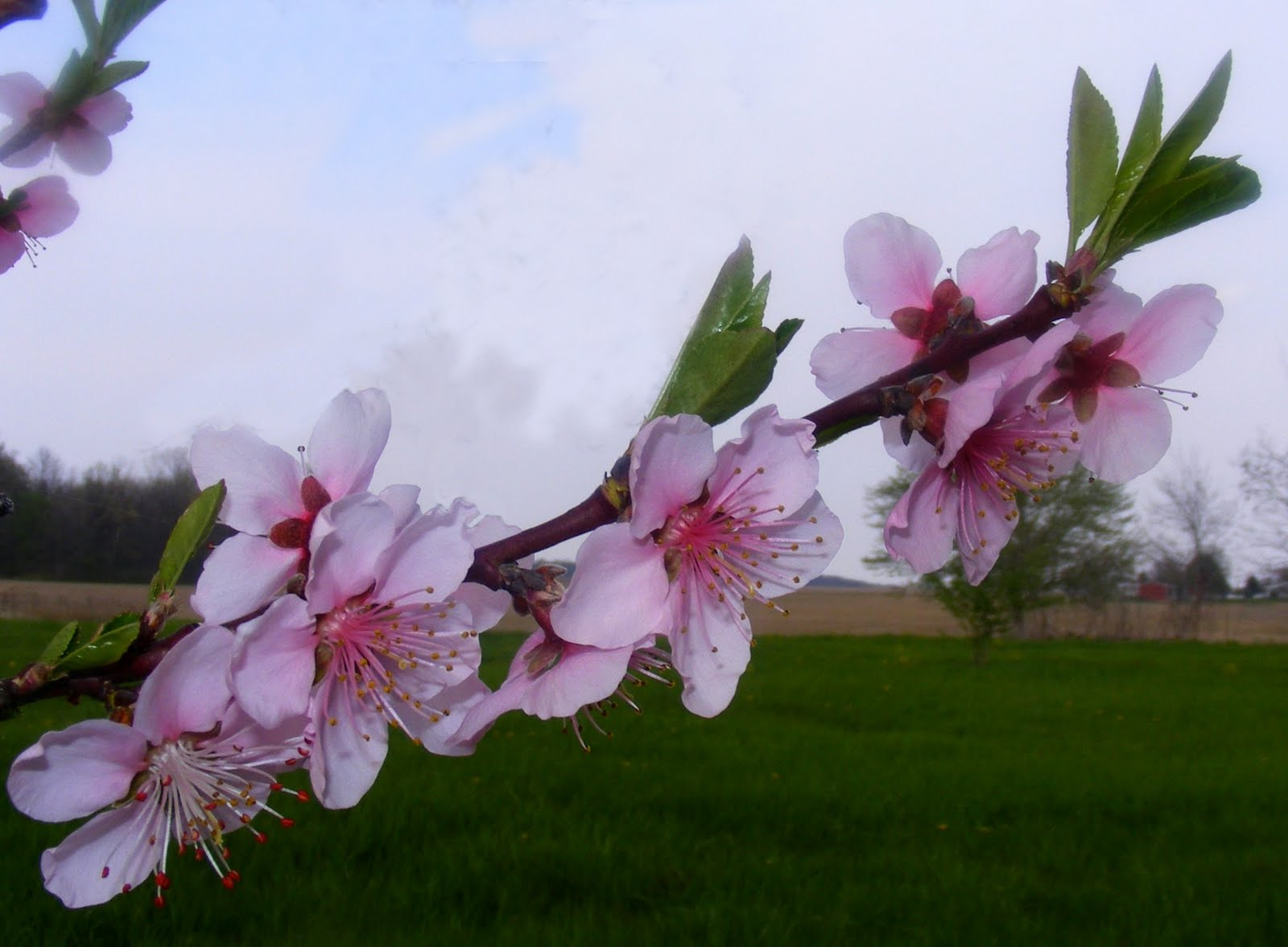 cherry blossom branch - photo #26