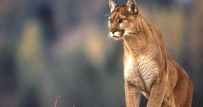 cougars vids