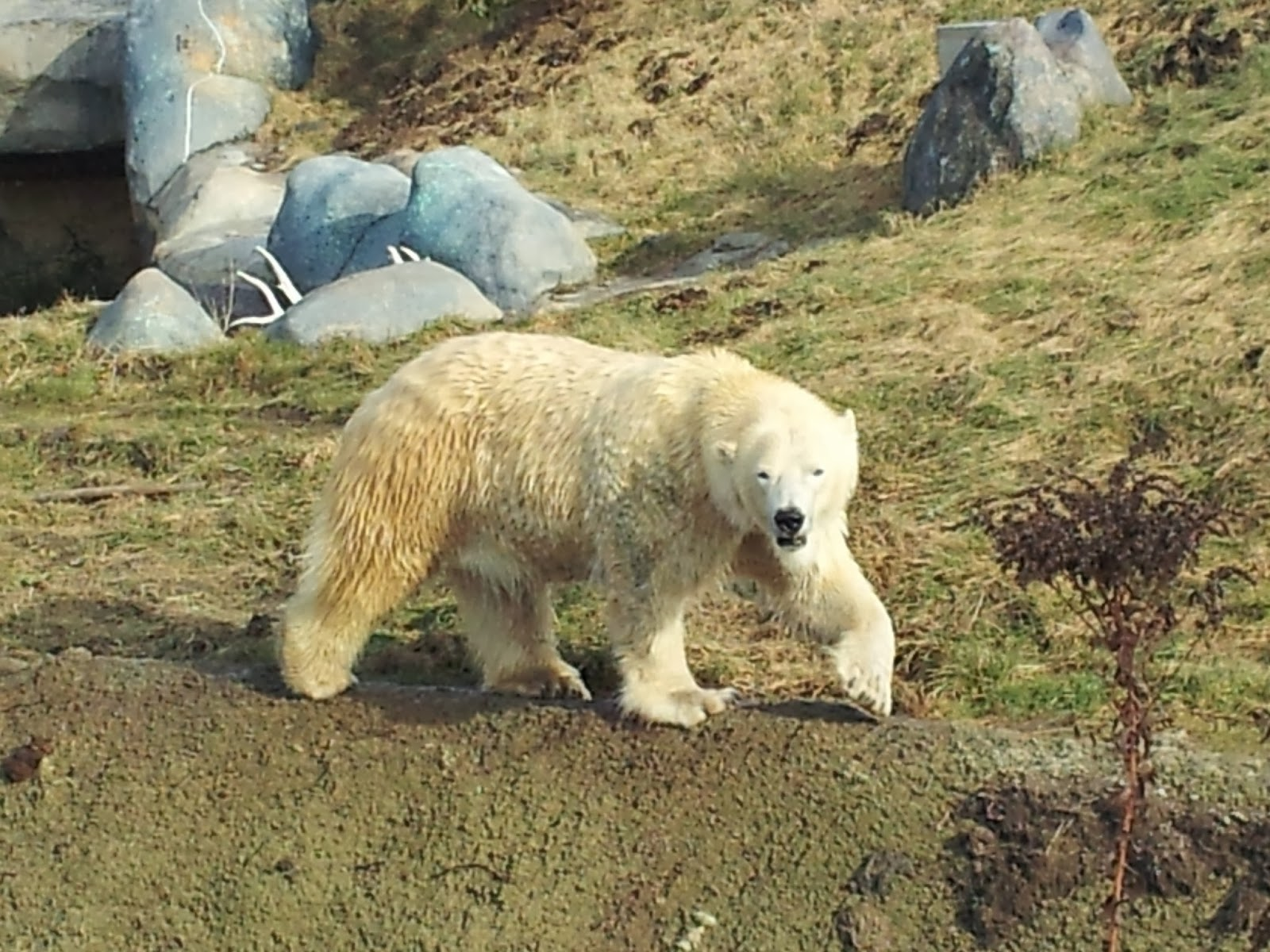 polar bear, bear, zoo, Toronto Zoo, animals