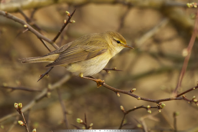 Fitis - Willow Warbler - Phyloscopus trochius