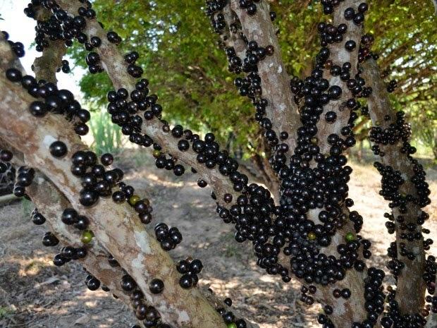 Produtor colhe mais de 14 toneladas de jabuticaba todos os anos