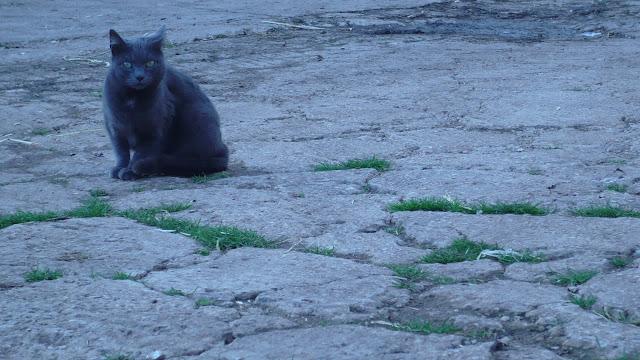 Un gatto certosino sul lastricato