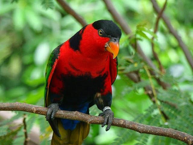 Burung jenis nuri berkepala hitam